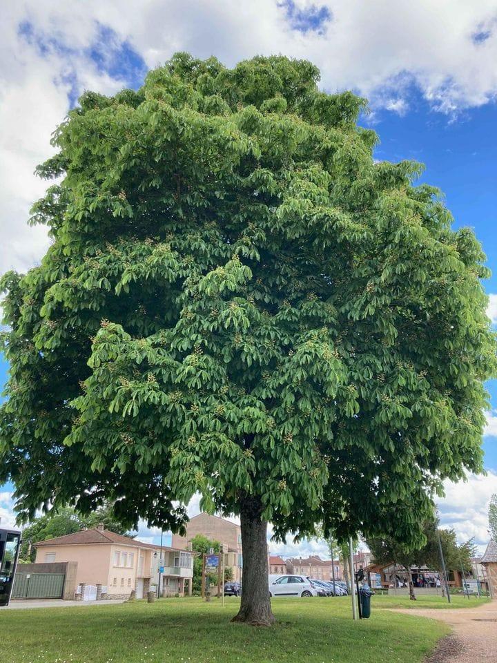 arbre en ville - CAUE de l'Ain