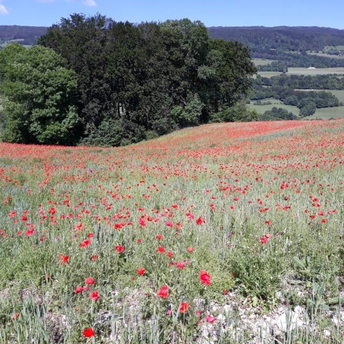 Participez à l'enquête sur les plantes messicoles en Auvergne-Rhône-Alpes
